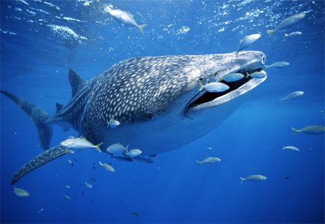 /img/smiles/whale-shark-with-fish.jpg